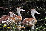 Spotted Whistling Ducks